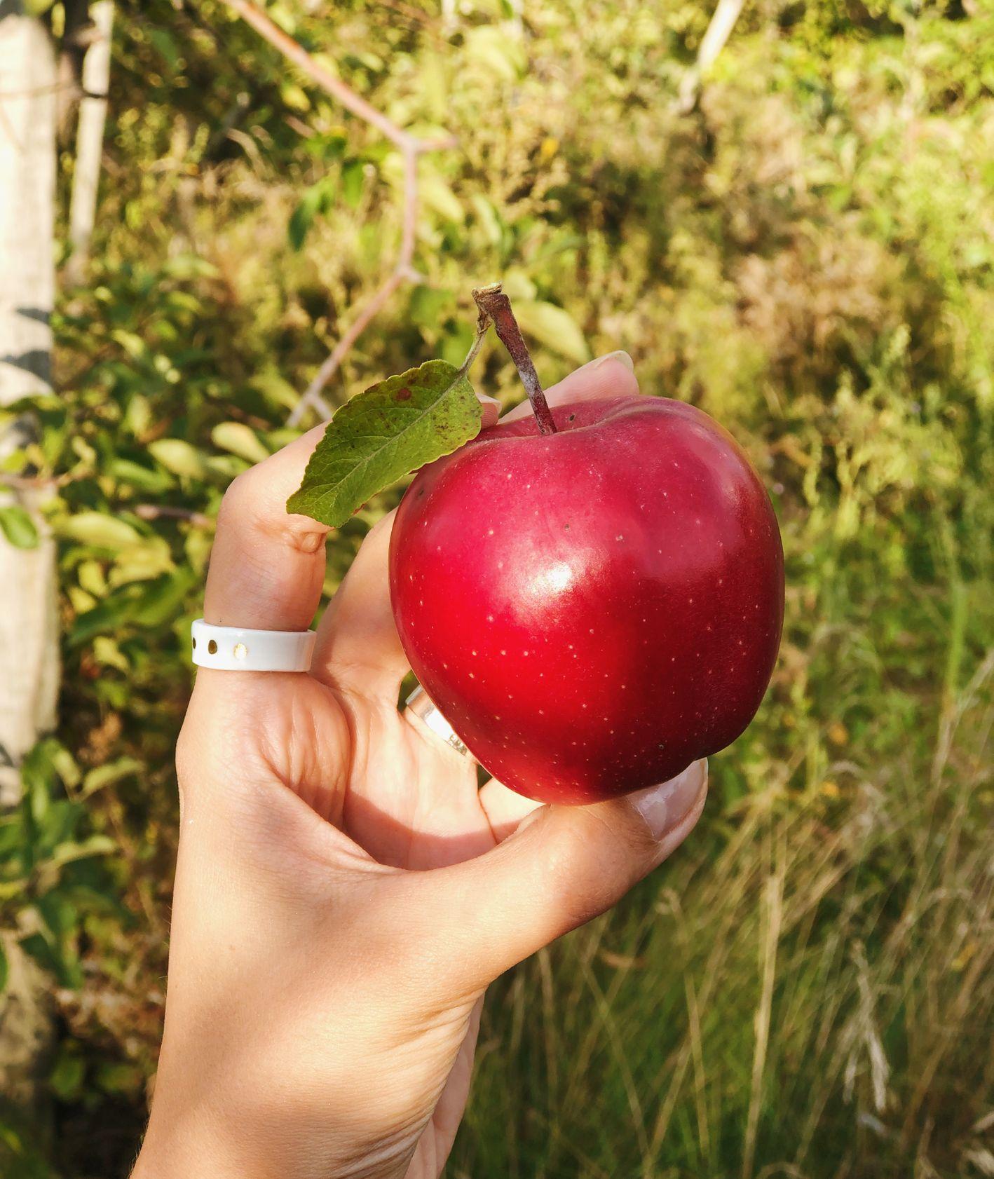 Jabłko prosto z sadu trzymane w dłoni (fot. Zuza Rożek)