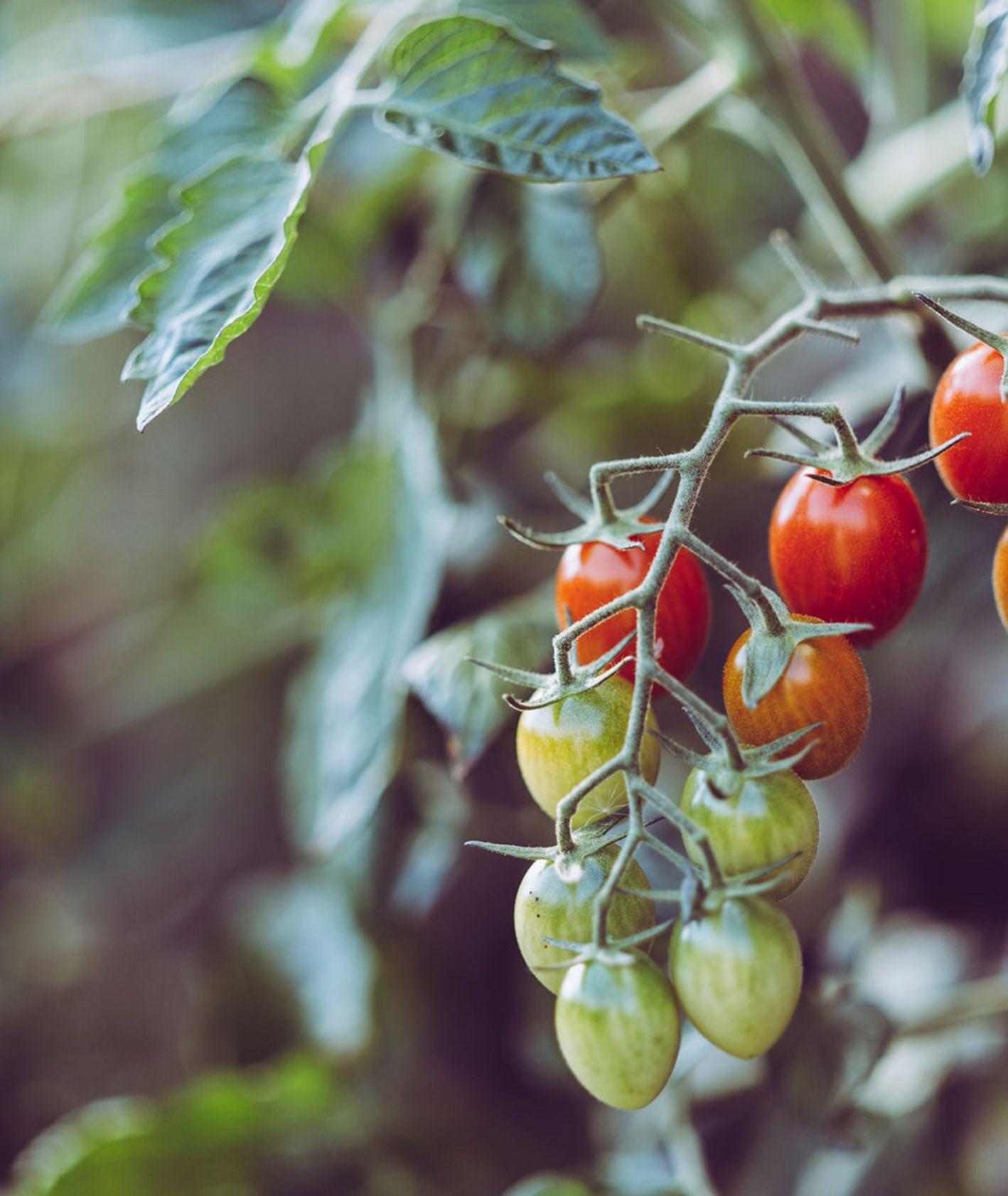 Gałązka z pomidorami (fot. Markus Spiske)