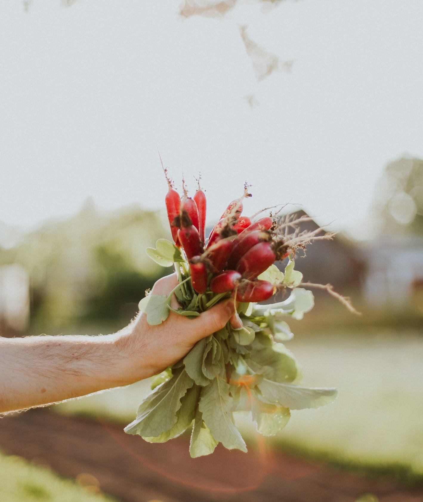 Rzodkiewki z ogródka, świeże chrupiące rzodkiewki (fot. Daiga Ellaby / unsplash.com)