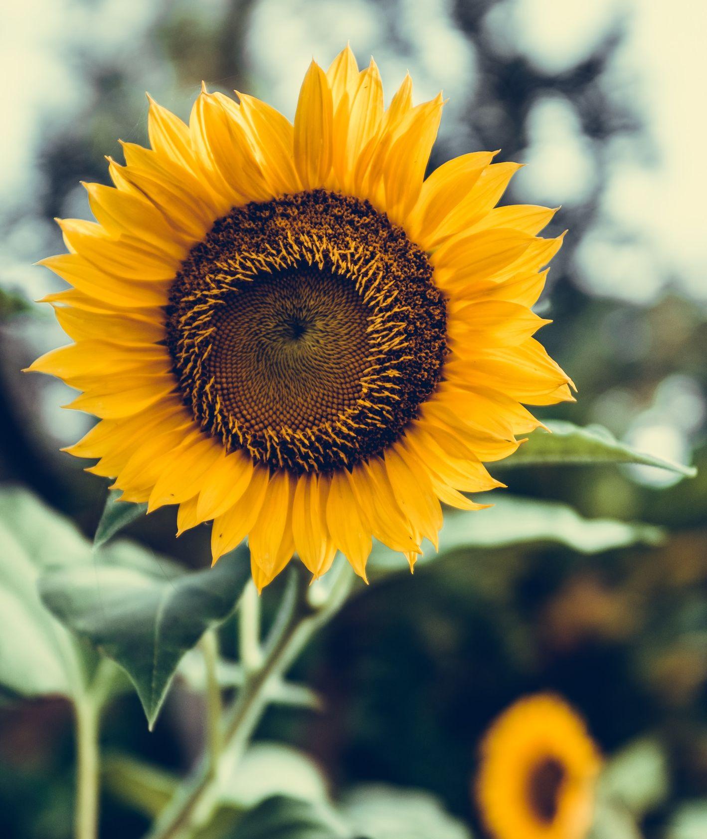 Słonecznik na polu słonecznikowym (fot. Bernard Hermant / unsplash.com)