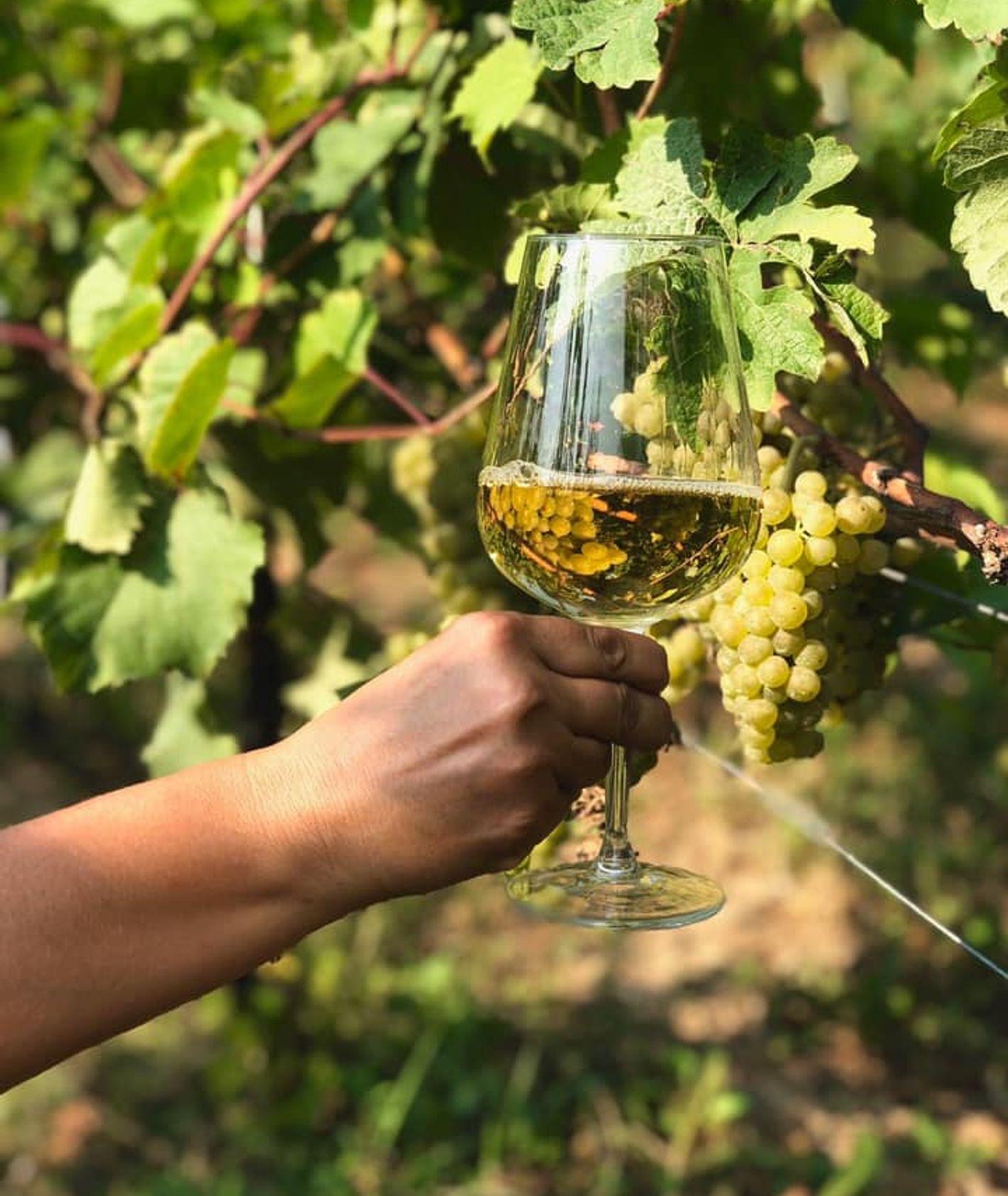 Kieliszek z białym winem w winnicy Dwór Sanna (fot. materiały prasowe)
