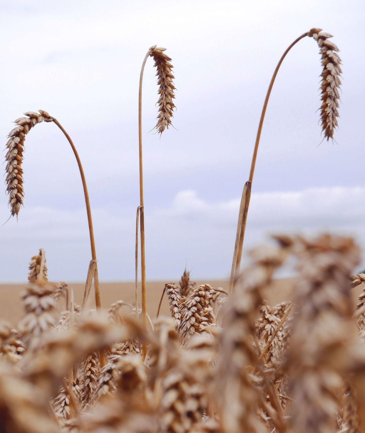 Kłosy pszenicy (fot. carl Newton)