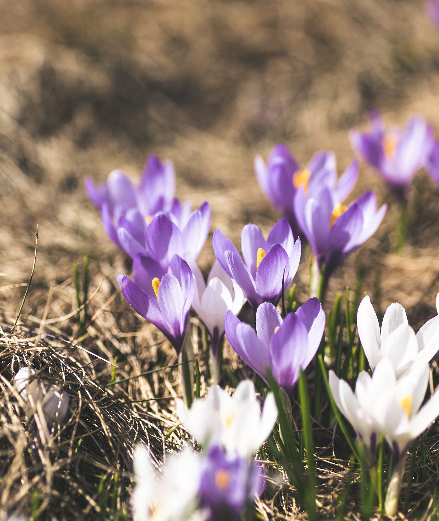 Pierwsze krokusy, wiosenne kwiaty (fot. Achim Ruhnau / unsplash.com)