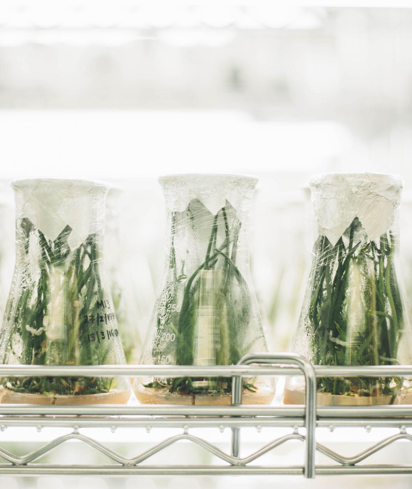 Novel Food. Rośliny w laboratoryjnych probówkach (fot. Chuttersnap / unsplash.com
