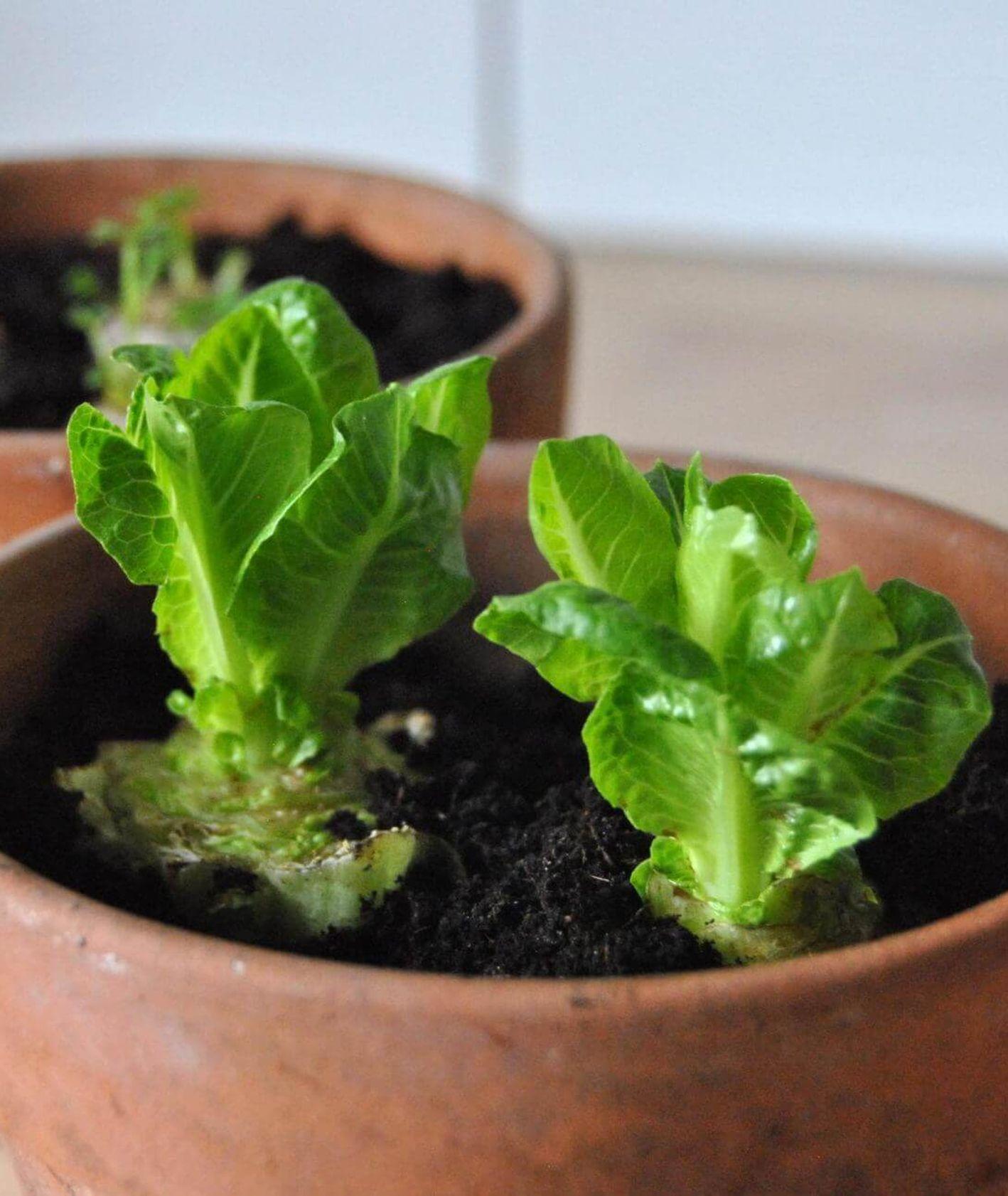 jak wyhodować warzywa z resztek, zero waste